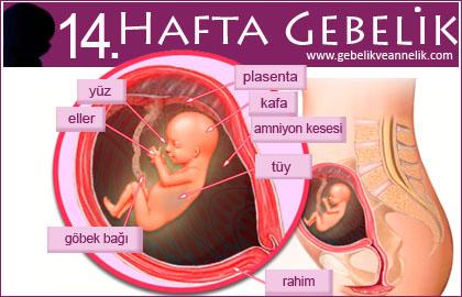 14 hafta gebelik