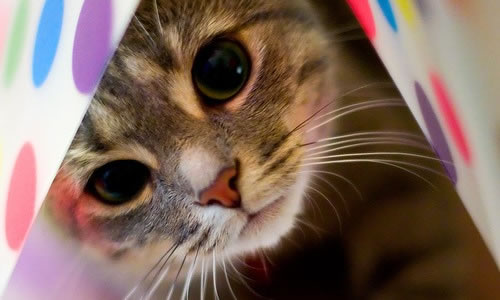 kedi hastalığı taksoplazma